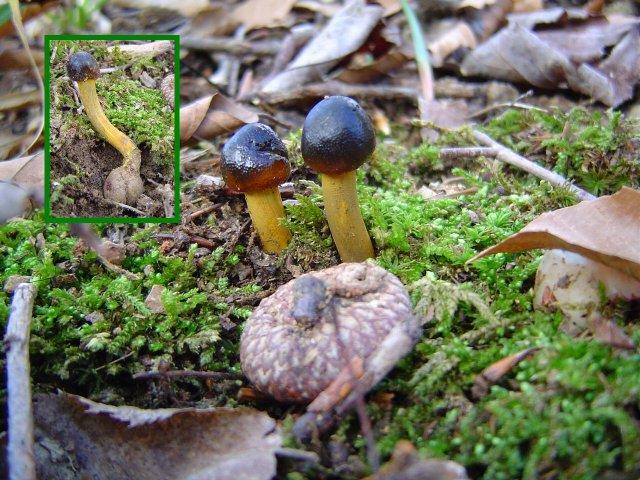 Cordyceps at Indiana Mushrooms